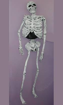 Squelette-150cm